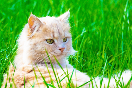 Ginger adult domestic cat sitting in grass and looking to camera