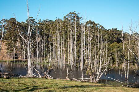 karri: Dead trees in a small lake near Pemberton