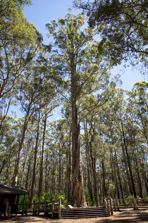 karri: Climbing Fire Diamond tree