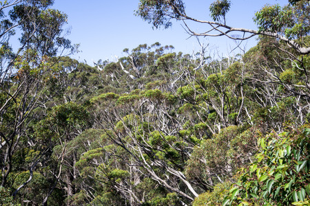 karri: A view of the giant trees in Tree Top Walk in Walpole
