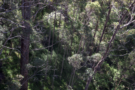 karri: A view down from a Tree Top Walk bridge in the Valley of the Giants, Walpole Stock Photo