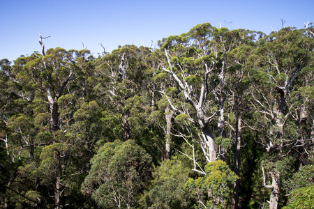 karri: A giant tingle forest view from a Tree Top Walk bridge
