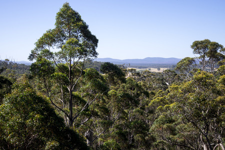 karri: A giant tingle trees landscape from a Tree Top Walk bridge in Walpole-Nornalup National Park