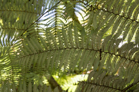 silver fern: Silver fern branches in New Zealand, national symbol Stock Photo