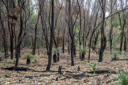 bushfire: Burnt forest remains after bushfire in Yanchep National Park, City of Wanneroo, Perth, Western Australia