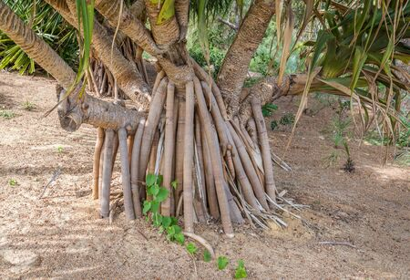 botanical gardens: Roots of Gandjandjal Pandanus Aquaticus tree in Kings Park and Botanical Gardens Perth Western Australia