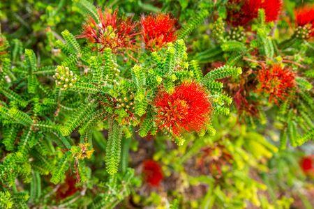 botanical gardens: Sand Bottlebrush red flower Beaufortia Squarrosa in Kings Park and Botanical Gardens Perth Western Australia
