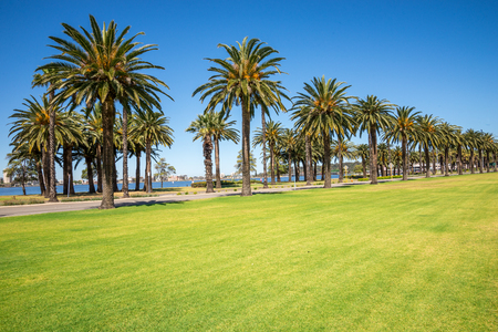 Palm trees along Riverside Drive in Perth, Langley Park, Western Australia