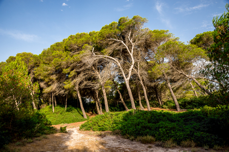 isles: Leaning trees in a small natural reserve park between Can Picafort and Alcudia, Mallorca Stock Photo