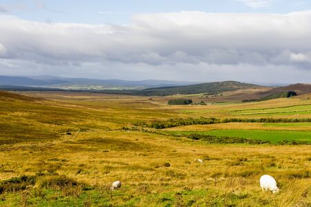 Grazing white sheep in yellow grass during autumn in Cairngorms national park, Scotland