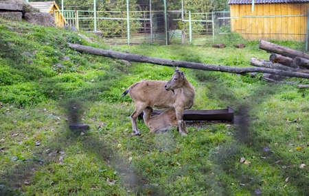 Mammifères beaux animaux habitudes. Famille de grosses chèvres mangeant de l'herbe en plein air. Mode de vie des herbivores.