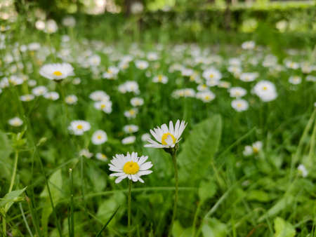 Summer sunny meadow or lawn with fresh grass and chamomiles. Flower background. Macro close up.