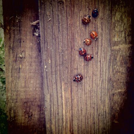 lady beetle: Lady-bug Stock Photo