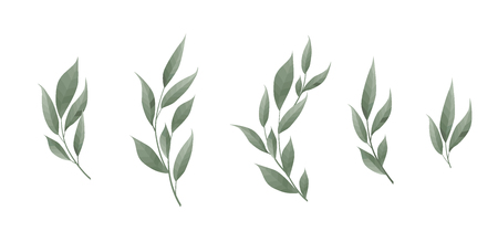 Ensemble de vecteur. Feuille de laurier. Feuilles vertes sur fond blanc. Illustration vectorielle.