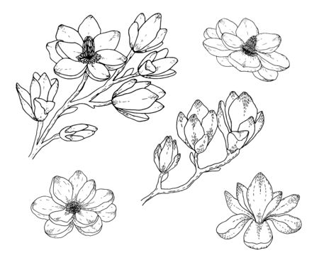 Magnolia flower drawings. Black and white with line art on white backgrounds. Hand Drawn Botanical Illustrations. Illustration