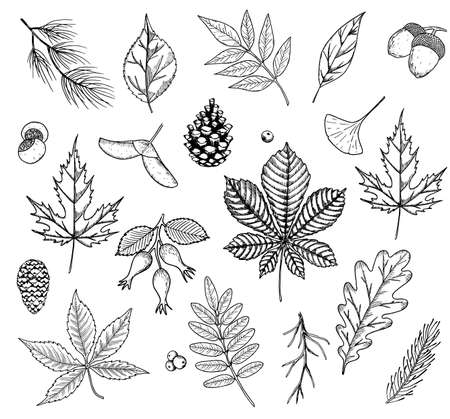 Autumn vector set with leaves, berries, fir cones, nuts, and acorns. Detailed forest botanical elements for decoration. Oak, maple, chestnut leaf drawing