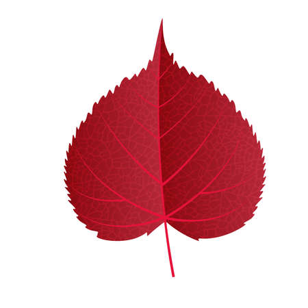 Autumn leaf vector on a white background