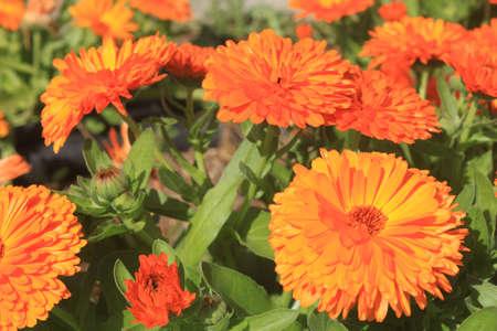 Orange flowers in Cyprus Stock Photo
