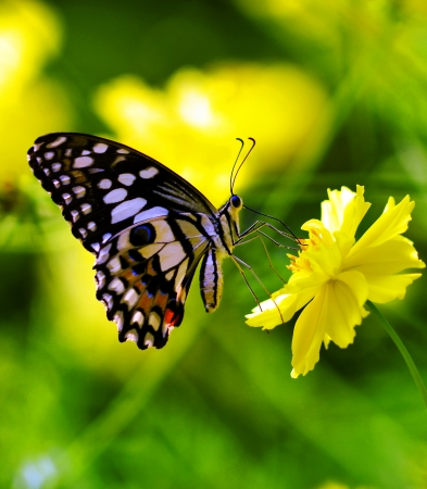 butterfly flower: Butterfly on a yellow  flower Stock Photo