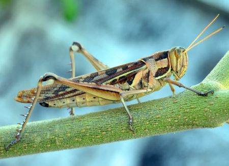 cricket insect: Wrinkled Grasshopper