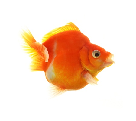Gold fish isolated on white background Stock Photo - 18461861