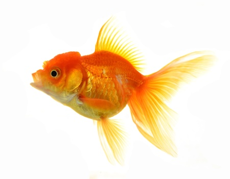 opalesce: Gold fish isolated on white background