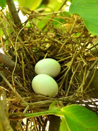 Eggs in Bird Nest photo