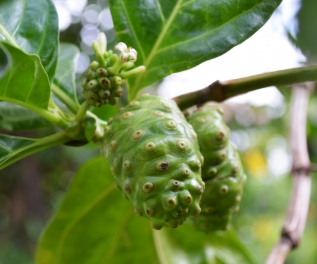 great morinda: Noni fruit Stock Photo