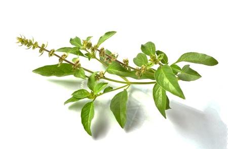 Basil flower 版權商用圖片