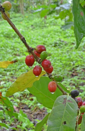 Coffee tree with ripe - Coffee beans on trees photo