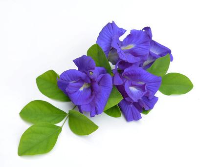 Clitoria ternatea or Aparajita flower isolated on white background Imagens