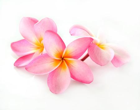 Frangipani Blüte isoliert auf weiß Standard-Bild - 30256766