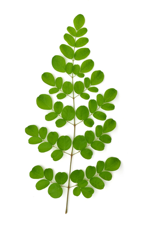 oleifera: Moringa oleifera hojas aisladas sobre fondo blanco