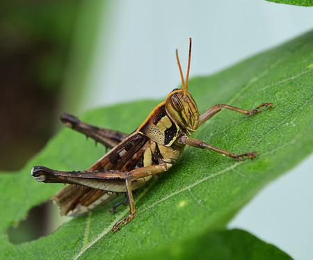 caelifera: Wrinkled Grasshopper