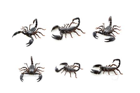 erectile: Scorpions on white background.