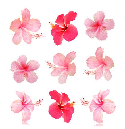 hibiscus flowers: Fiori su uno sfondo bianco Archivio Fotografico