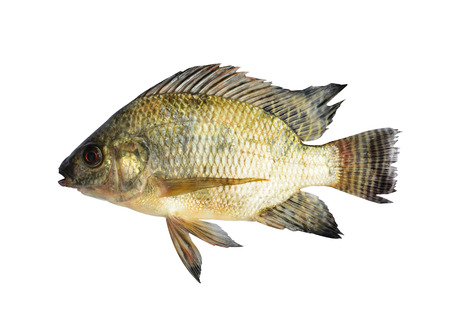 large cichlid: Tilapia isolated on white background