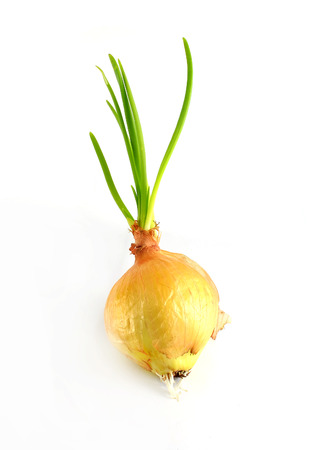 outgrowth: Sprouting onions - isolated on white background