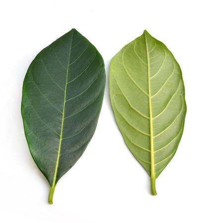 coffeetree: coffee leaves