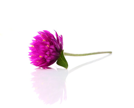 Globe amaranth beauty flower in white background photo