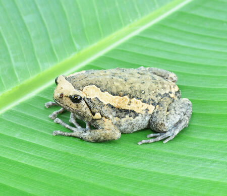 anura: Frog on a leaf. Stock Photo
