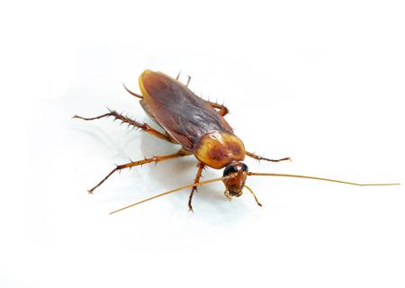 tahriş: Beyaz zemin üzerine Hamamböceği Stok Fotoğraf