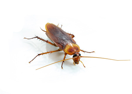 Cockroach on white background photo