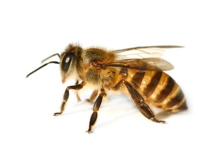 꿀벌 스톡 콘텐츠 - 30705299