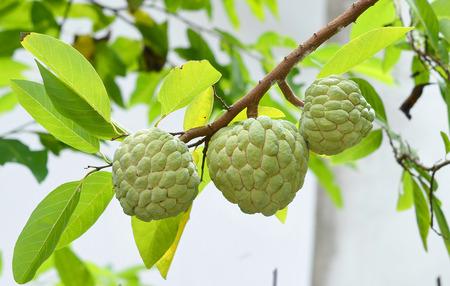 custard apple fruit: Custard apple fruit,Annona squamosa