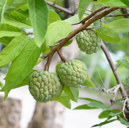 annona: Custard apple fruit,Annona squamosa