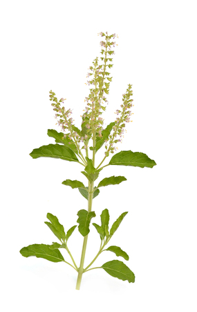 Basil flower photo
