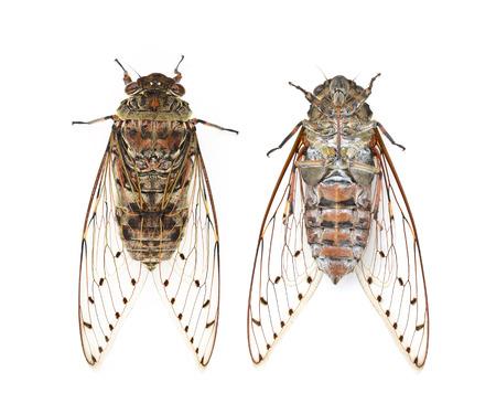 cicada bug: cicada