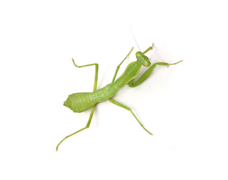 crawly: Female Praying Mantis, in front of white background
