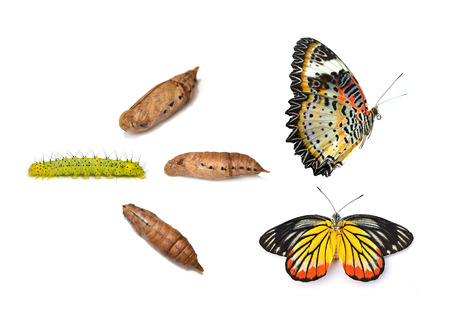 Monarch butterfly emerging from chrysalis, eight stages. Isolated over a white background. photo